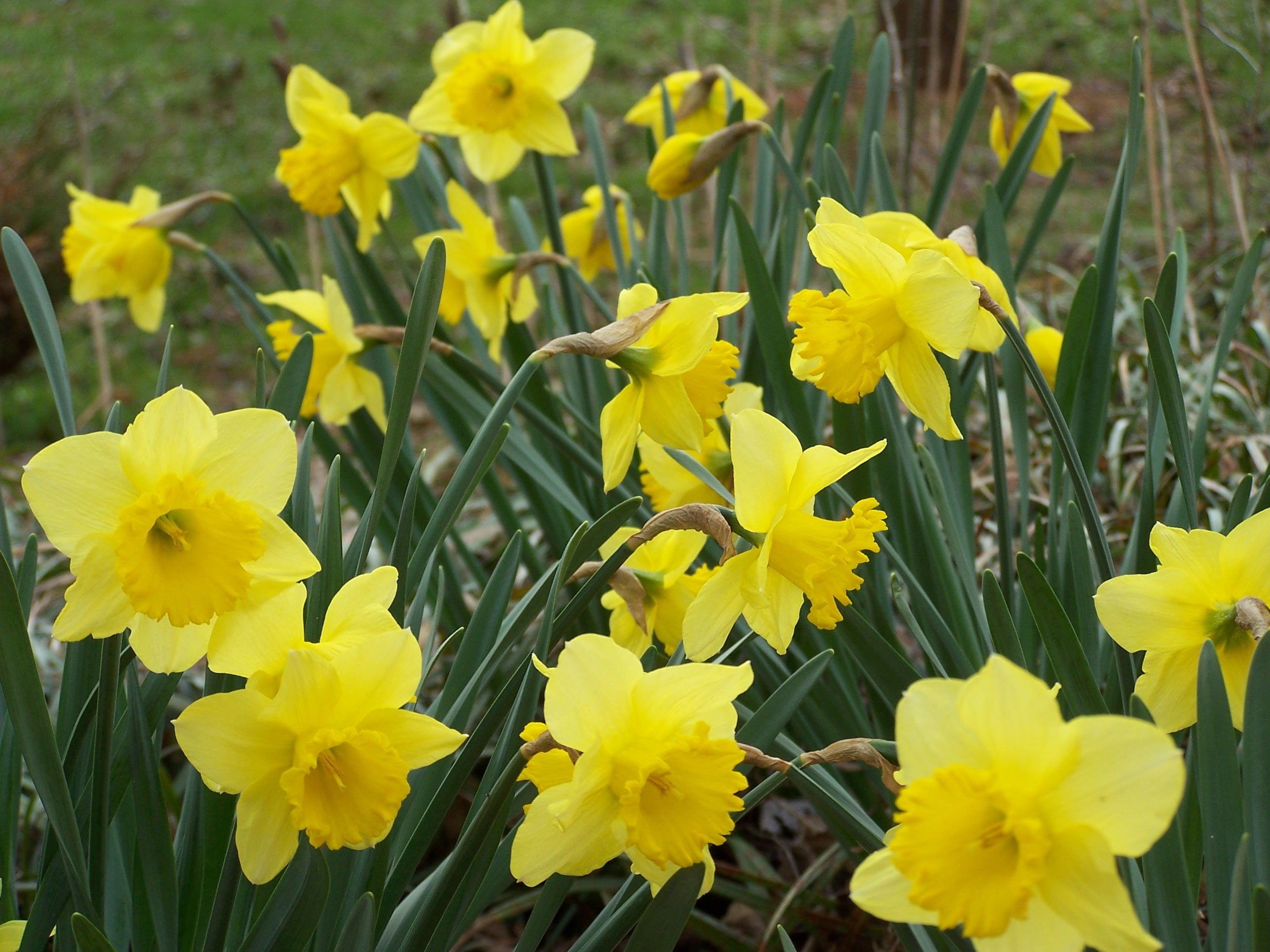 Daffodils 003