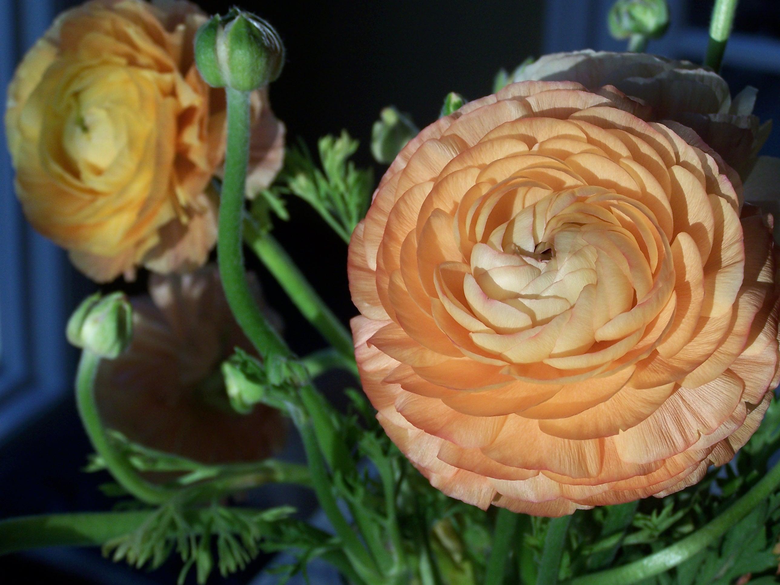 Ranunculus 002