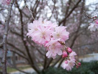 More blossoms 004